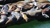 alvás : Sleeping sea lions - San Francisco , California