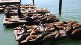 kürk : Wild sea lions - San Francisco, California