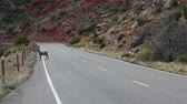 kürk : Bighorn sheep on road - Colorado