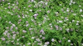 lilás : Wild crown vetch flowers swaying in the wind