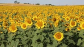 к северу : Sunflowers field - North Dakota