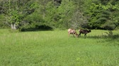 dumanlı : Female elk grazing - Great Smoky Mountains NP, Tennessee Stok Video