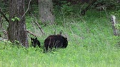 clareira : Bears on the edge of the forest, Tennessee