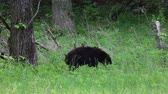 clareira : Black bears on the edge of the forest, Tennessee