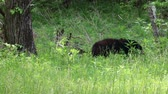 clareira : Black bears on clearing, Tennessee