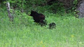clareira : Bears in May, Tennessee Stock Footage