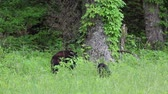 clareira : Black bear in grass, Tennessee