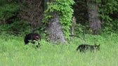 clareira : Bear crossing fence, Tennessee Stock Footage