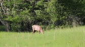 clareira : Female elk on the meadow, Tennessee