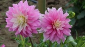 beauty in nature : Two pink dahlia flowers