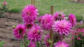 garden flowers : In dahlia garden Stock Footage