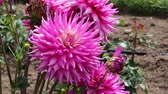 garden flowers : Pink dahlia close up Stock Footage