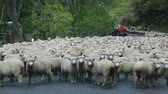 sürü : Sheep waiting for a round up, New Zealand