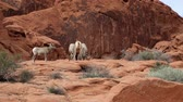 rochas : Desert bighorn sheep, Nevada Stock Footage