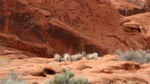 огонь : Four desert bighorn sheep, Nevada Стоковые видеозаписи