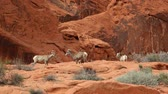 ovelha : Desert bighorn sheep fighting, Nevada