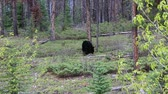 Black bear in the forest - Jasper NP, Canada