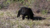 Scene with black bear, Jasper NP, Canada Stock Footage
