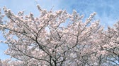 landscape of the cherry blossom, slow motion