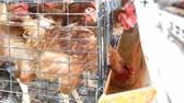 domestic : Chicken farm, hen egg. Stock Footage