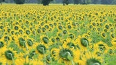 yellow : Sunflower field in breezeSunflower field in breeze Stock Footage