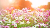 pasture : Beautiful cosmos flowers swaying in the breeze with sun light, slow motion. Stock Footage