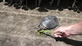 tartaruga : turtle eating grass from hand of caucasian woman in zoo Stock Footage