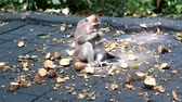 macaque : funny hungry monkey eating fruits. Cute monkeys lives in Ubud, Bali, Indonesia.