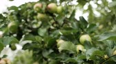 vibrante : Close up of apples in a tree on summer time. Excellent crop of fruits