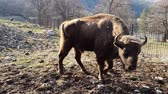 bizon : Bison approaches blessedly to camera in natural park in early spring