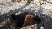 гриф : Big griffon lies on stones in aviary of Teberda reserve