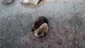 ursus : Two brown bears are carried to each other in enclosure