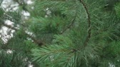 szyszka : Humans hand pushes fir tree branch and after rain drops fall down