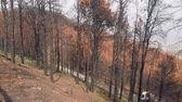 canárias : Forest of canary pines after conflagration in mountains Vídeos