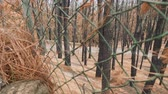canárias : View of canary pines burnt in fire behind fence