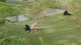 postura : Two siamangs and pileated gibbon eat and relax on green grass in zoo