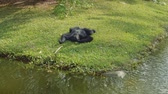 primacy : Siamang relaxes and eats lying on grass near river