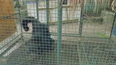 primacy : View of binturong in cage in zoo