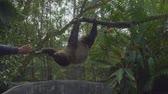 cabeludo : Sloths hanging on tree branch Stock Footage