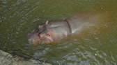 hipopótamo : View of hippopotamus swimming in reservoir in zoo