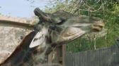 giraffe : Close up of giraffes head eating leaves from tree Stock Footage
