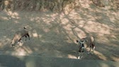 zoo : Couple of antelopes on territory of zoo Stock Footage