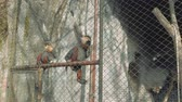 eats : Two monkeys with white beard sit on fence in zoo and eat corn