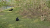 primacy : Two siamangs and pileated gibbon eat and relax on green grass in zoo