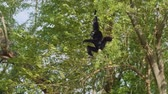 primacy : Siamang climbing tree in zoo