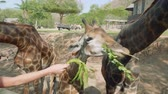 girafa : Giraffes eating from hands of tourists who feed them with green leaves