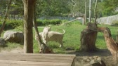 captive : Lions behind glass of crate in Khao Kheow Open Zoo Stock Footage