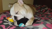 meal : English bulldog puppy play with toys.