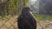 Eagle bird in zoo cage. Freedom in a steel cage.