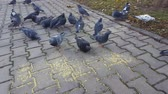 Pigeons peck seeds on the pavement. Steadicam shot.